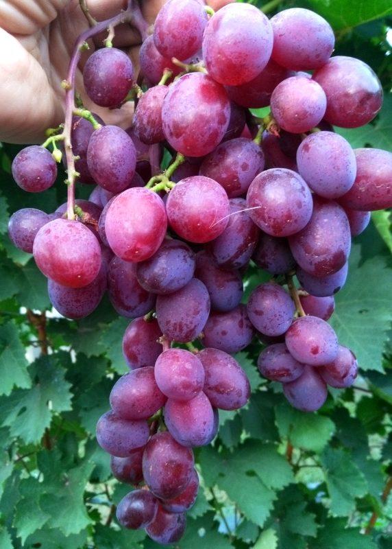 Сорт винограда «виктория», особенности его выращивания в московской области