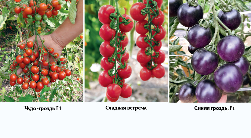Томат чудо гроздь: отзывы, фото, урожайность   tomatland.ru