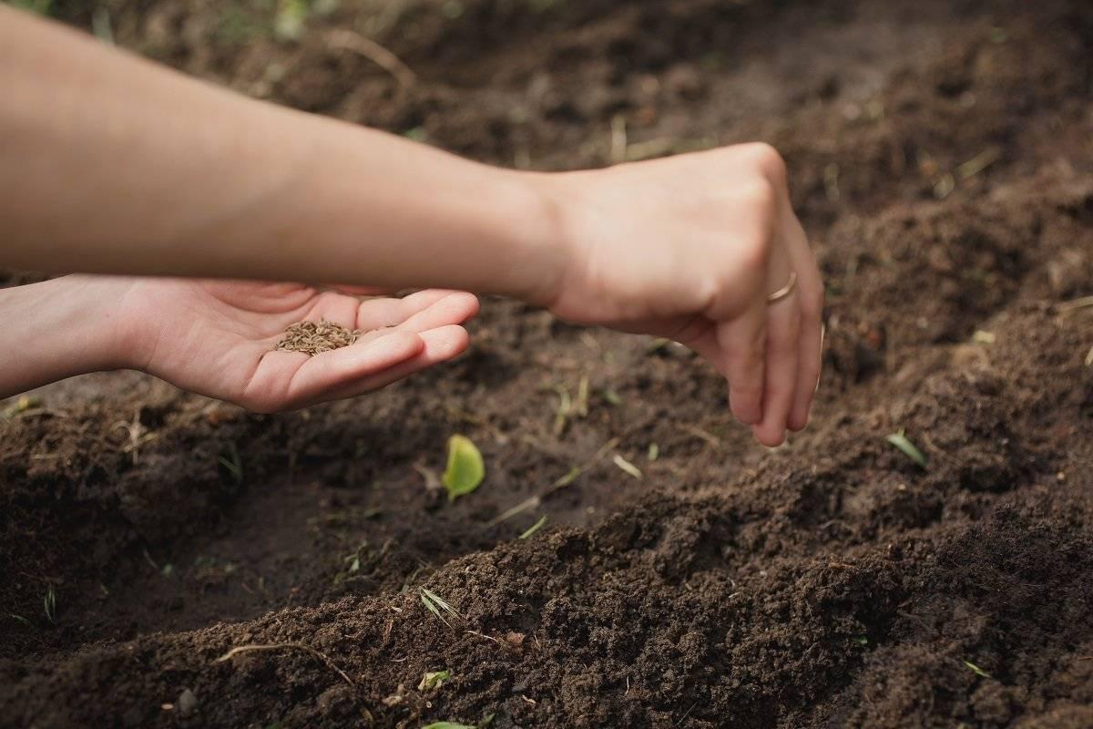 Когда сажать базилик на рассаду в 2021 году. как сажать базилик