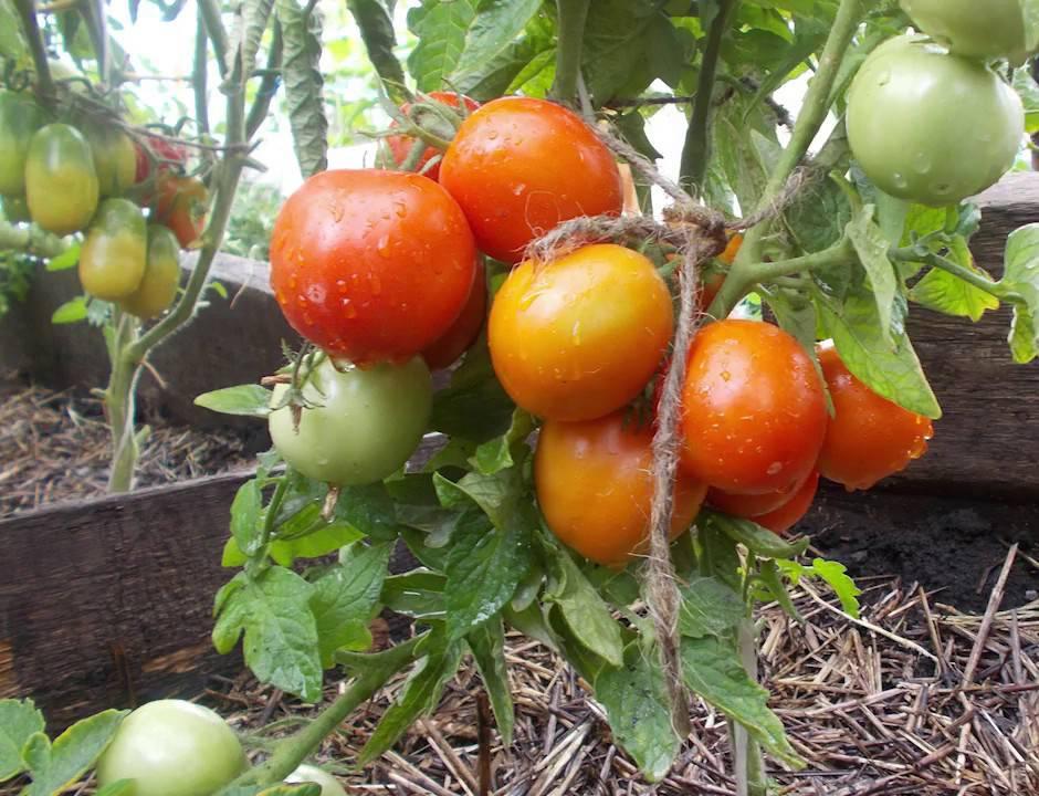 Штамбовый сорт помидор, что это такое?