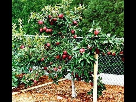 Карликовые сады - экономия места и богатый урожай фруктовых деревьев в саду