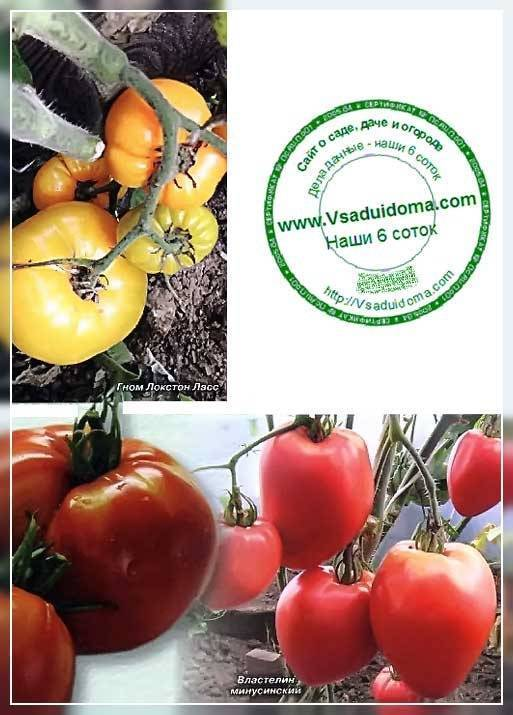 Томат бабушкин поцелуй: отзывы, фото, урожайность, описание и характеристика   tomatland.ru