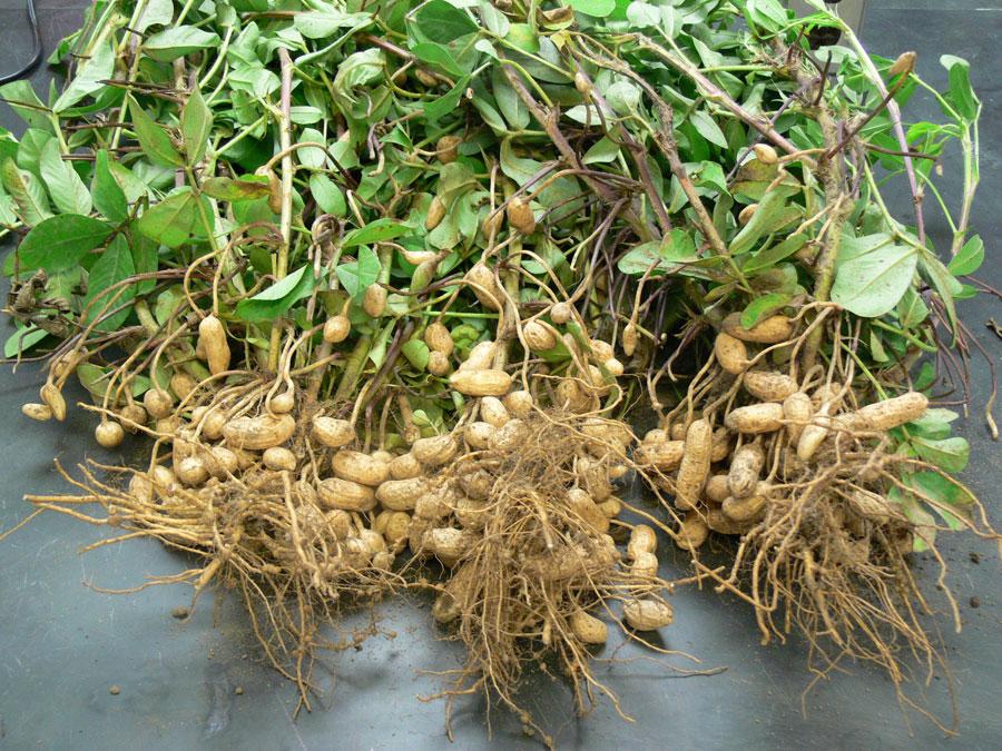 Можно ли вырастить арахис на урале, в сибири и как это сделать в открытом грунте? пошаговая инструкция процедуры