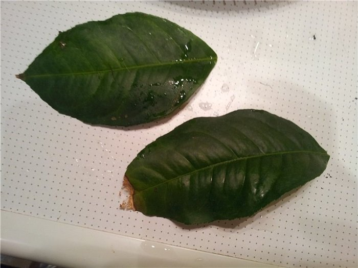 На листьях лимона пятна желтого и коричневого цвета: что делать, если они по каким-то причинам появились на домашнем растении, а также лечение и профилактикадача эксперт