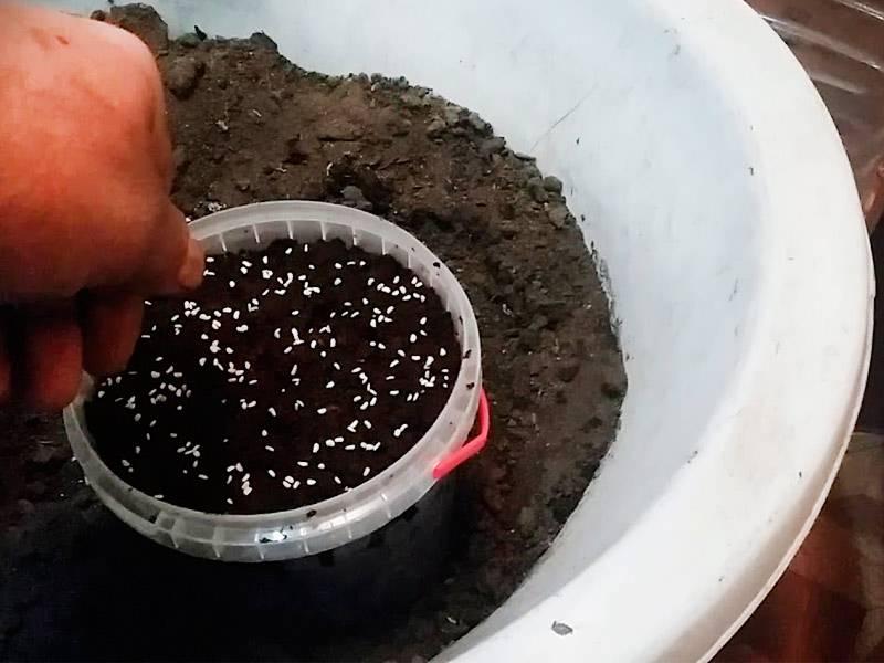 Как правильно сажать малину: пошаговая инструкция для начинающих. схема посадки малины - sadovnikam.ru
