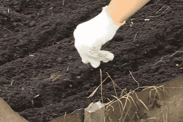 Ревень: выращивание и уход в открытом грунте, посадка, когда собирать, как посадить и размножить