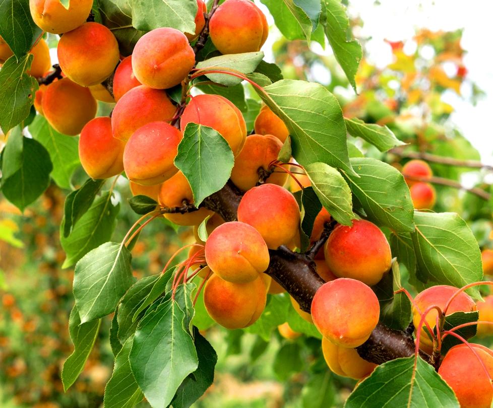 Абрикосы на урале, посадка и уход. как вырастить абрикос на урале