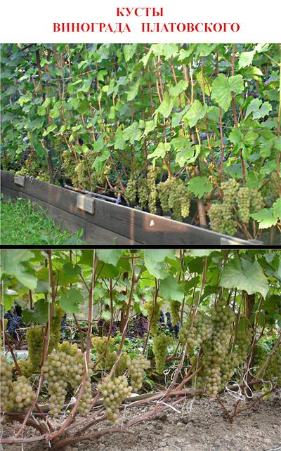 Описание и история винограда сорта платовский, выращивание, правила сбора и хранения урожая