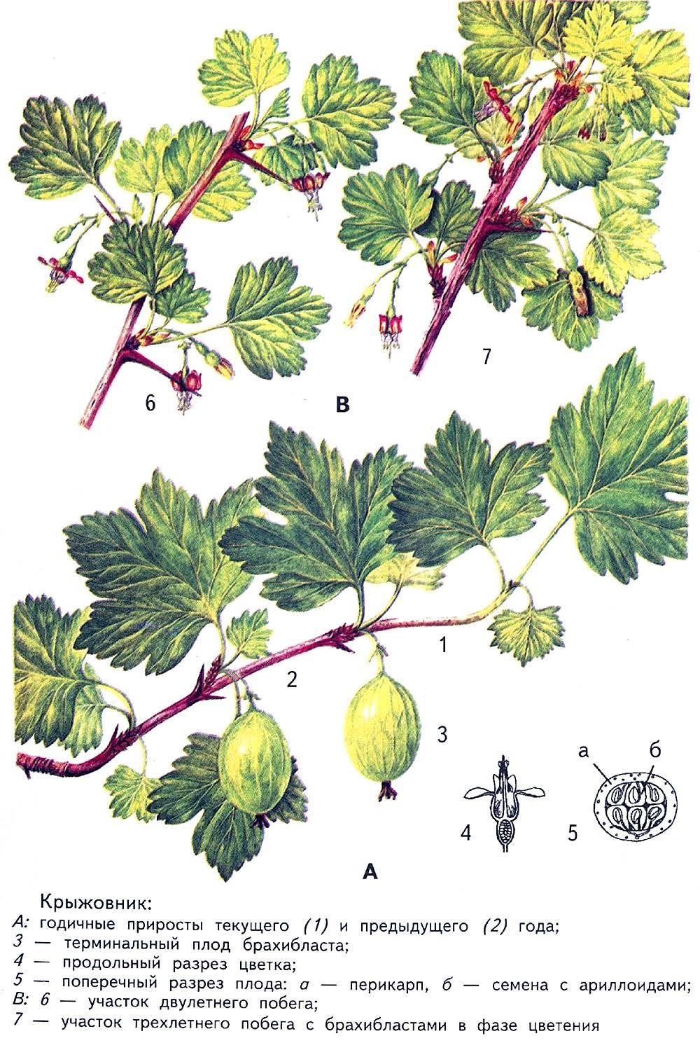 Растение смородина: описание, выращивание, уход, сорта, фото