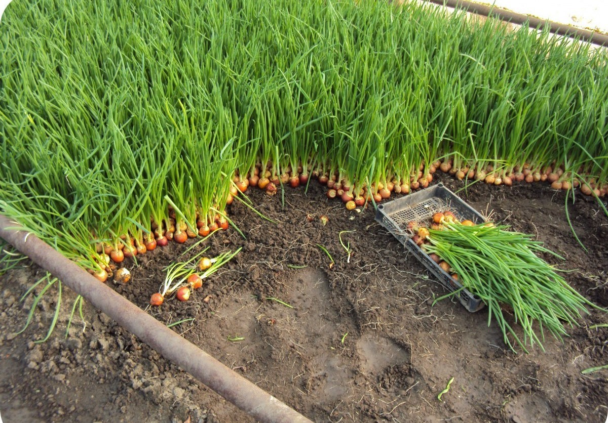Лучшие сорта лука-севка для сибири и урала: описание сладких и иных видов репчатого овоща  для посадки в открытый грунт, а также какой сажать для хранения?