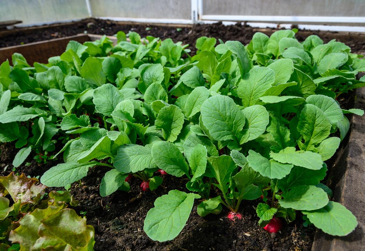 Советы по выращиванию редиса в теплице зимой на продажу