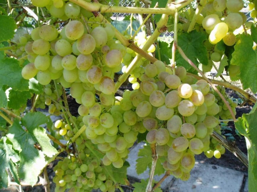 Виноград: описание 27 самых популярных сортов, их характеристика (фото & видео) +отзывы