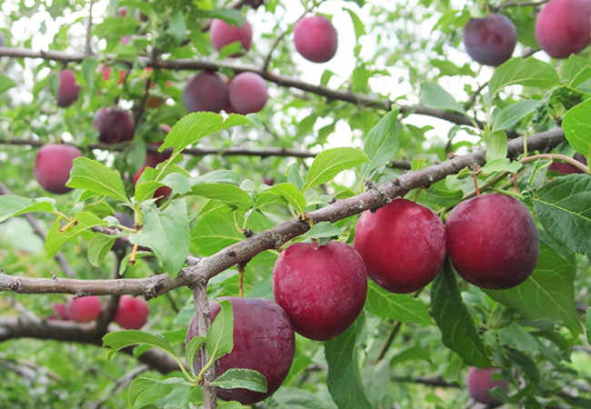 Июльская роза алыча: описание сорта и опылители, посадка и уход с фото