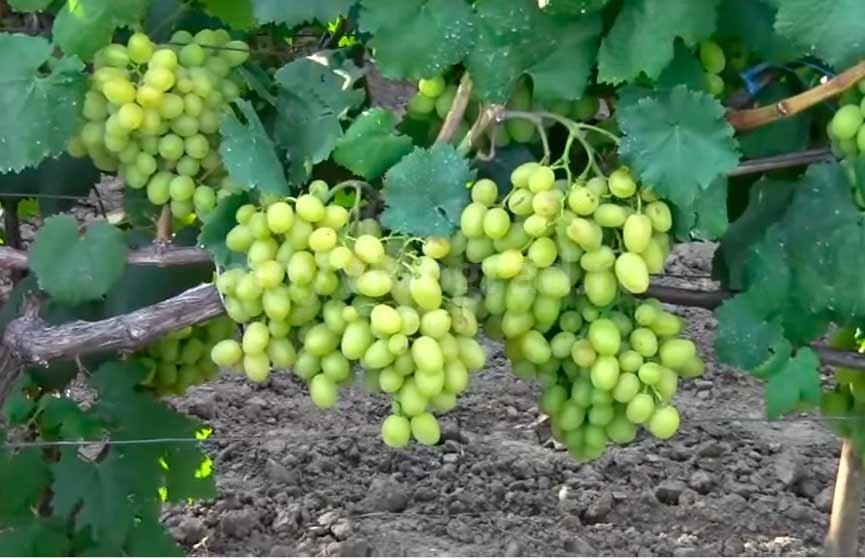 Чем интересен виноград «галахад»: описание сорта, его достоинства и недостатки. особенности посадки винограда «галахад» и уход за сортом - автор екатерина данилова - журнал женское мнение