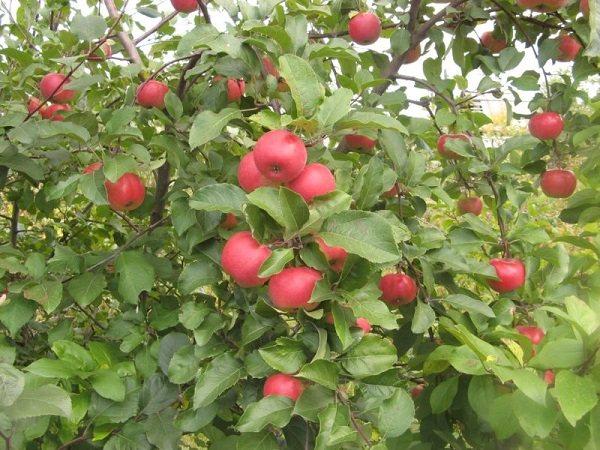 """Яблоня благая весть - описание сорта, фото, отзывы - журнал """"совхозик"""""""