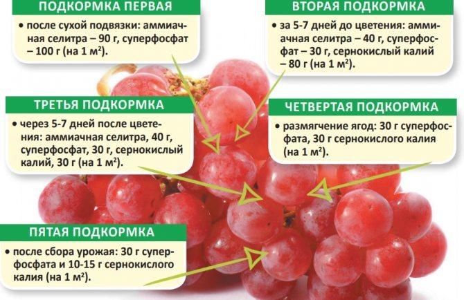 Чем подкормить виноград - чем, когда и как правильно удобрять во время посадки и сбора урожая (135 фото)