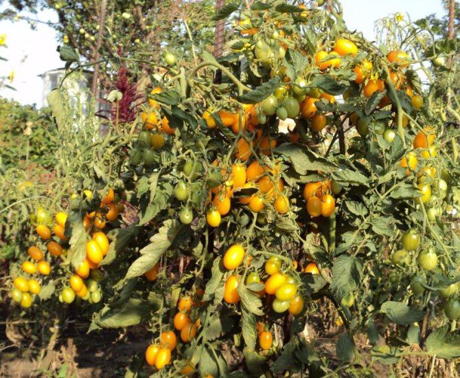 Томат финик красный — описание сорта, урожайность, фото и отзывы садоводов