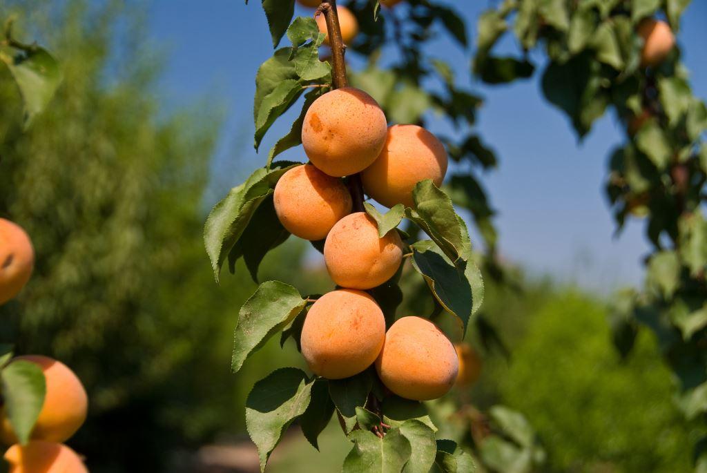 Абрикос алеша: отзывы, фото, описание сорта, выращивание, посадка и дальнейший уход, обрезка, урожайность, морозостойкость