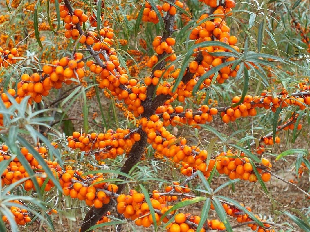 Посадка облепихи весной саженцами, как посадить в открытом грунте, дальнейший уход, как садить мужскую и женскую облепиху правильно