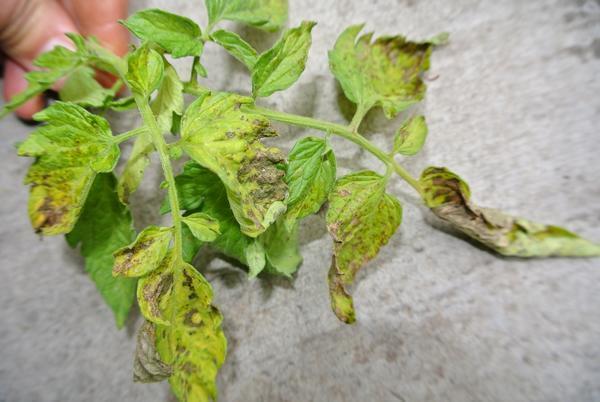 Почему и что делать, если у помидор мелкие верхние листья и скручиваются