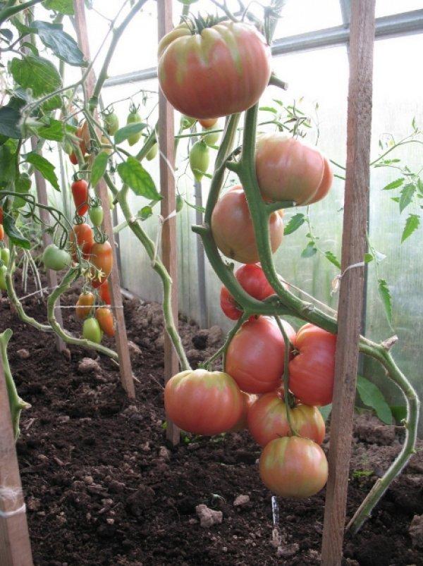 Как выращивать томат розовый мед: описание сорта и основные требования