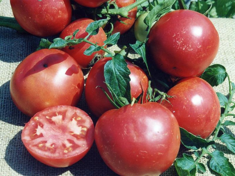 Описание томата сорта титан розовый и его характеристика. сорт томата «титан»: описание и основные характеристики