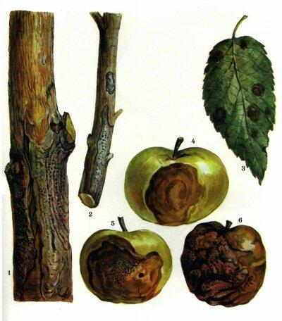 Чёрный рак у яблони: лечение, как бороться, устойчивые сорта