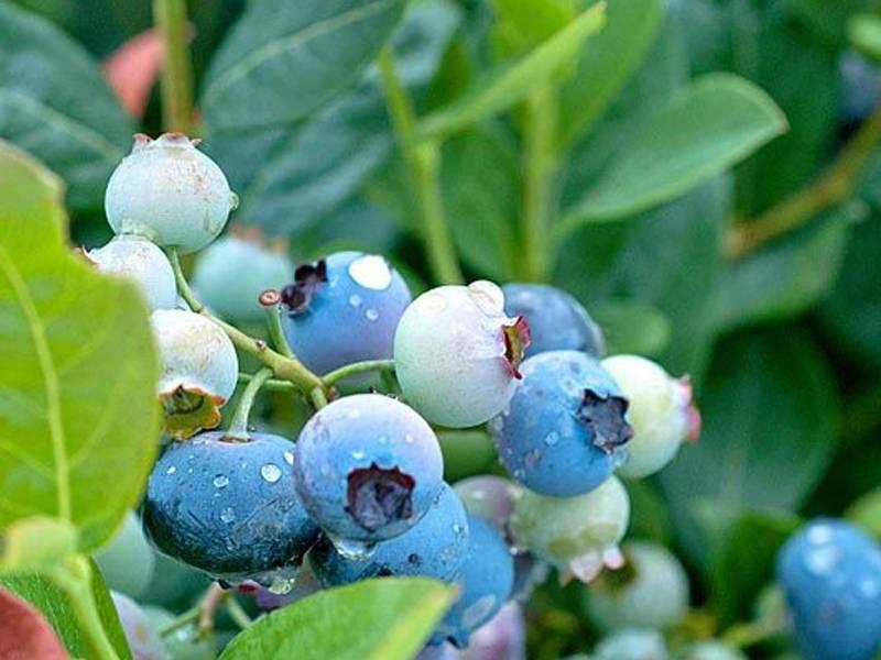 Голубика высокорослая особенности выращивания и ухода, а также описание сортов, в том числе для подмосковья с характеристикой и отзывами