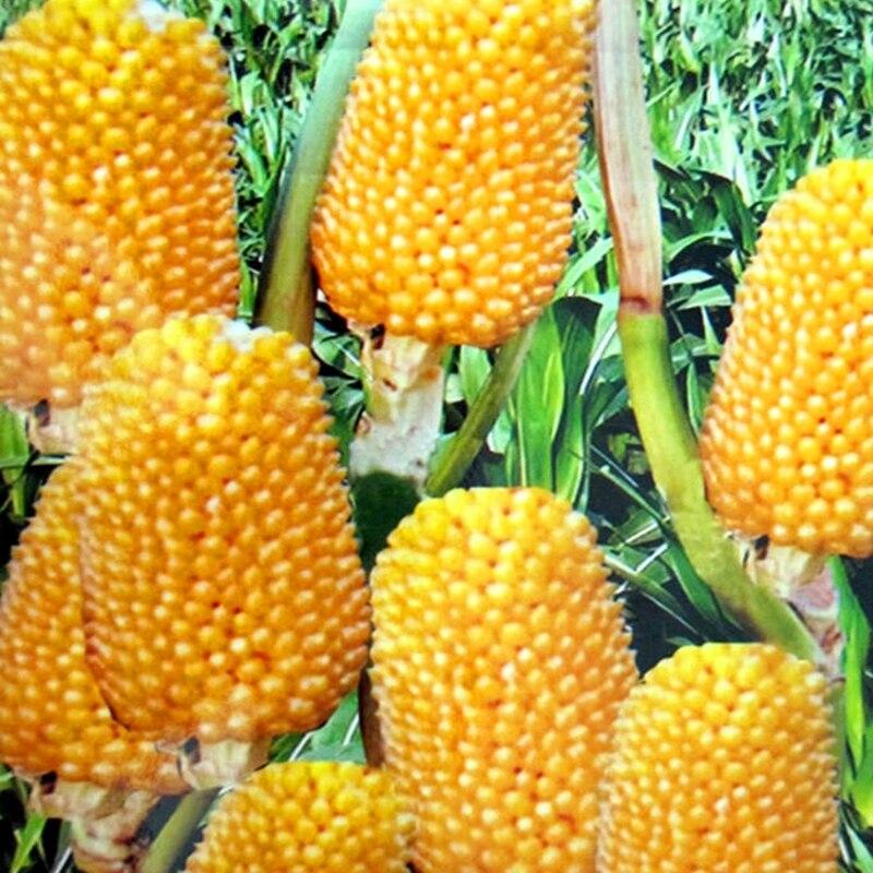 Описание сорта земляничной кукурузы и правила выращивания