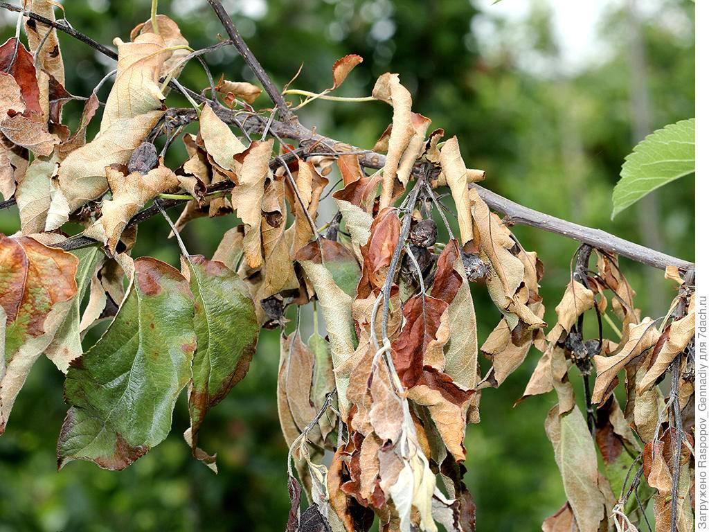 Болезни листьев у яблони, как бороться и лечить поврежденное растение