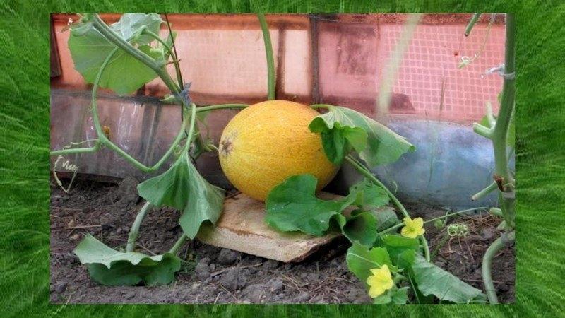 Выращивание дыни в подмосковье в открытом грунте: какие сорта лучше выбирать, как правильно сажать семена