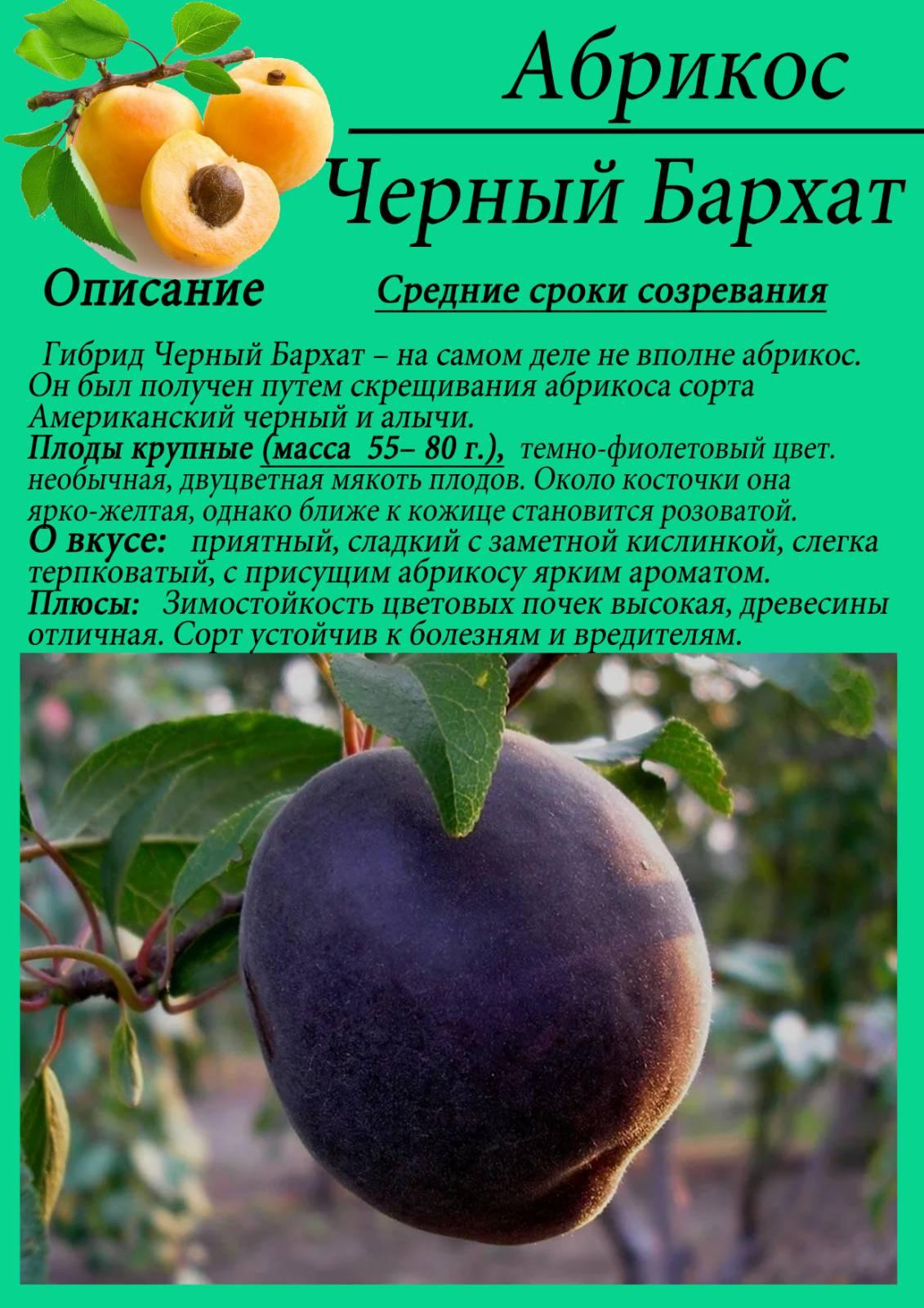 Сорт абрикоса черный бархат, описание, характеристика и отзывы