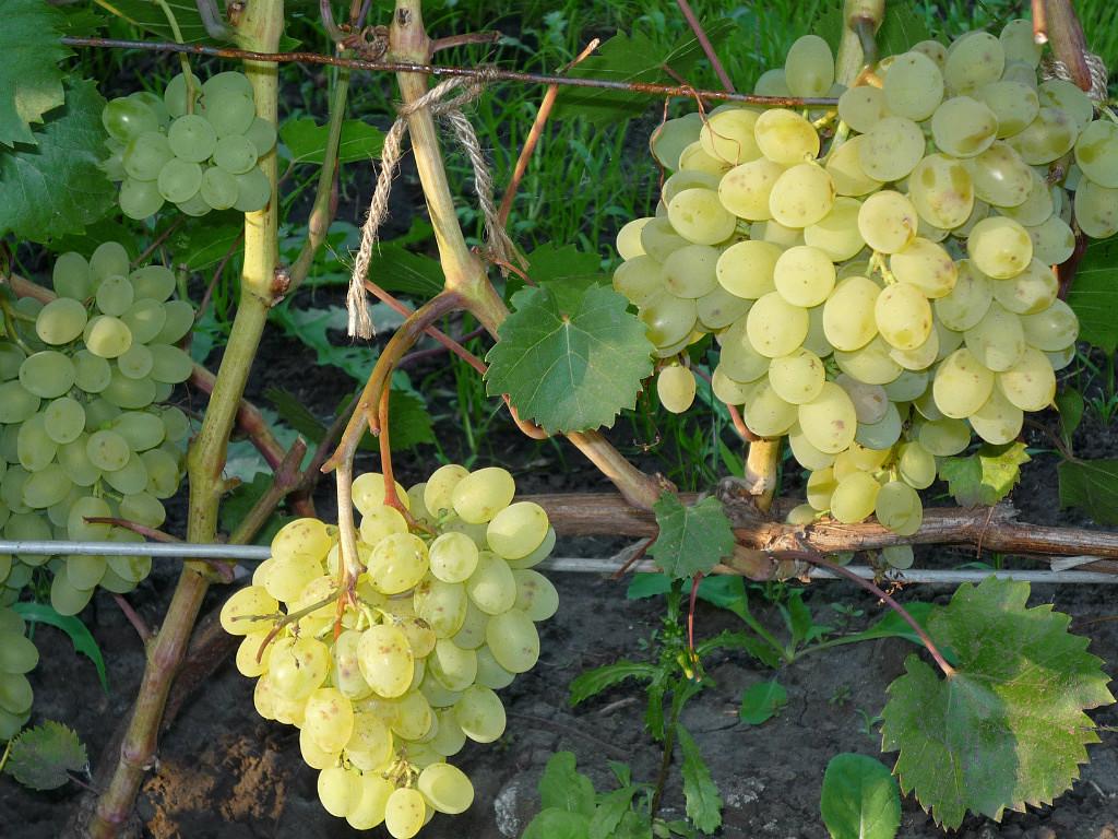 Виноград русбол (кишмиш мираж) описание сорта, выращивание и уход, отзывы и фото