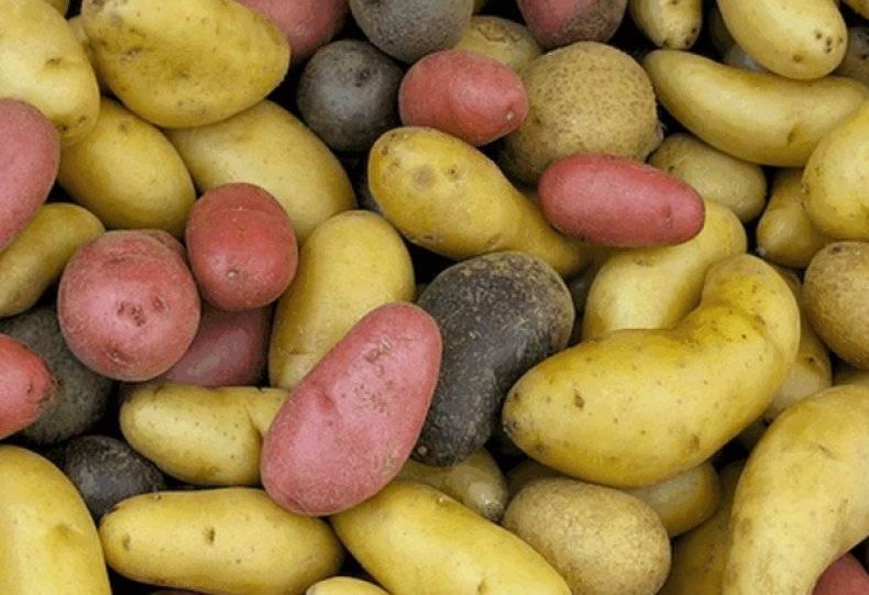 Можно ли заморозить картошку очищенную. заморозка картофеля в домашних условиях