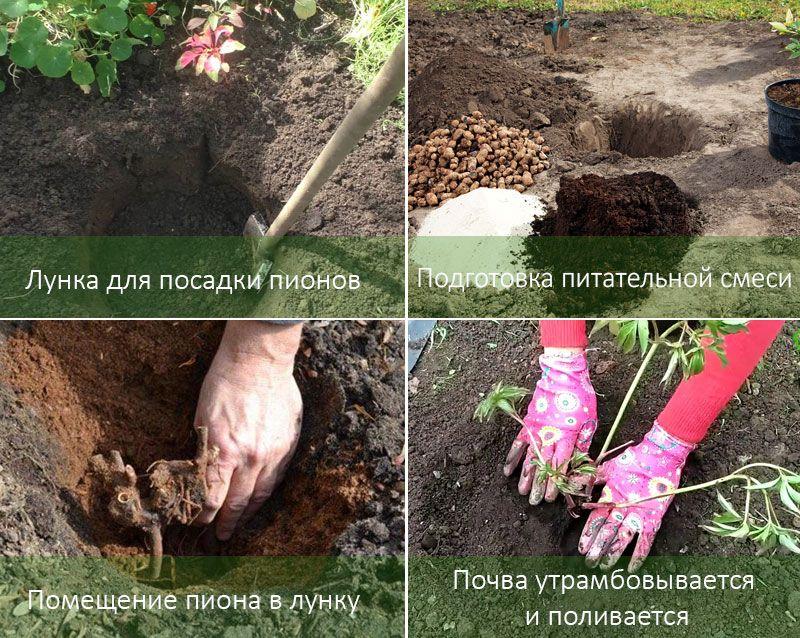 Посадка хризантем осенью: когда сажать, уход, размножение