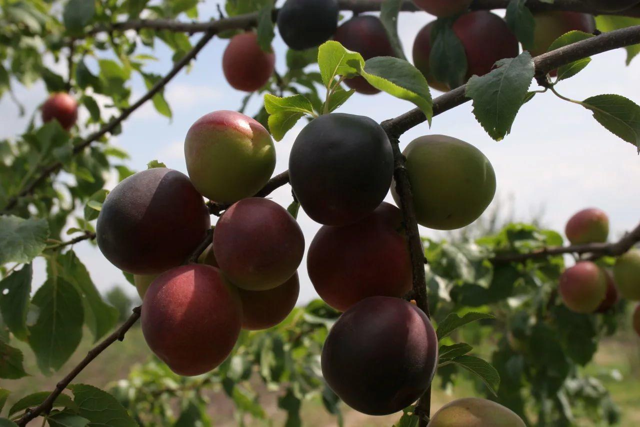 Описание и характеристики абрикоса сорта Черный Принц, посадка и уход