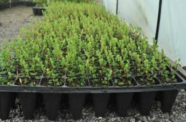 Как выращивать голубику в домашних условиях 2021
