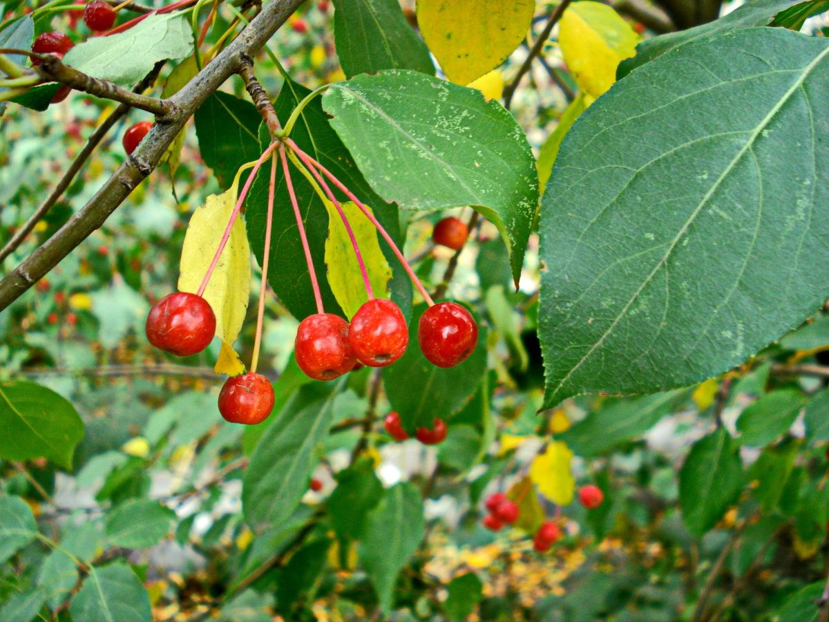 Яблоня ягодная сибирячка гавриш