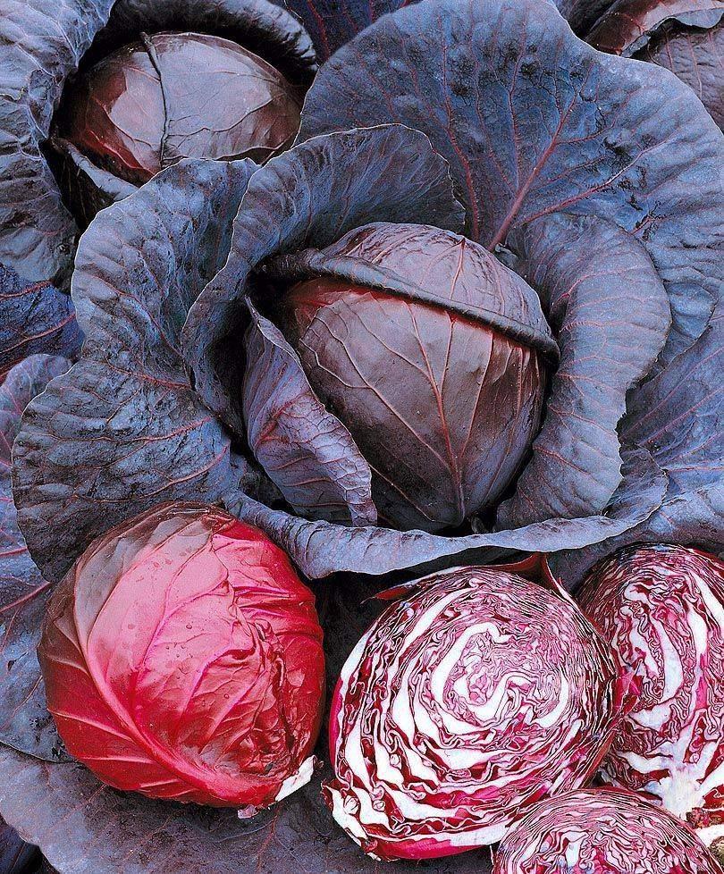 Краснокочанная капуста: выращивание и уход в открытом грунте, видео и фото