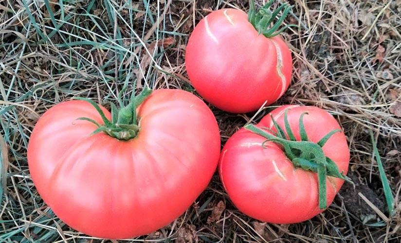 "Томат ""исполин"": характеристика и описание сорта, условия выращивания и отзывы с фото"