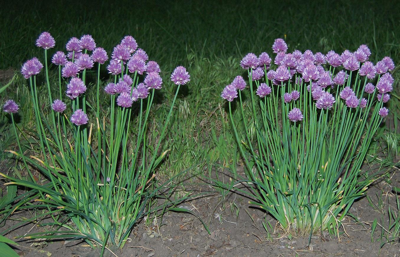 Лабазник: фото, описание видов и сортов цветка, видео выращивания, посадка растения, уход в открытом грунте