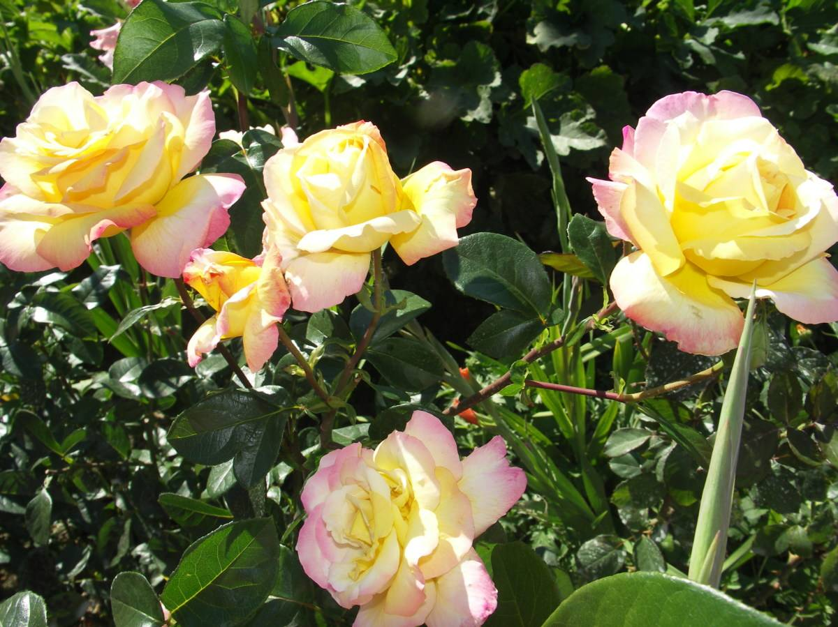 Роза глория дей посадка и уход | комнатные цветы