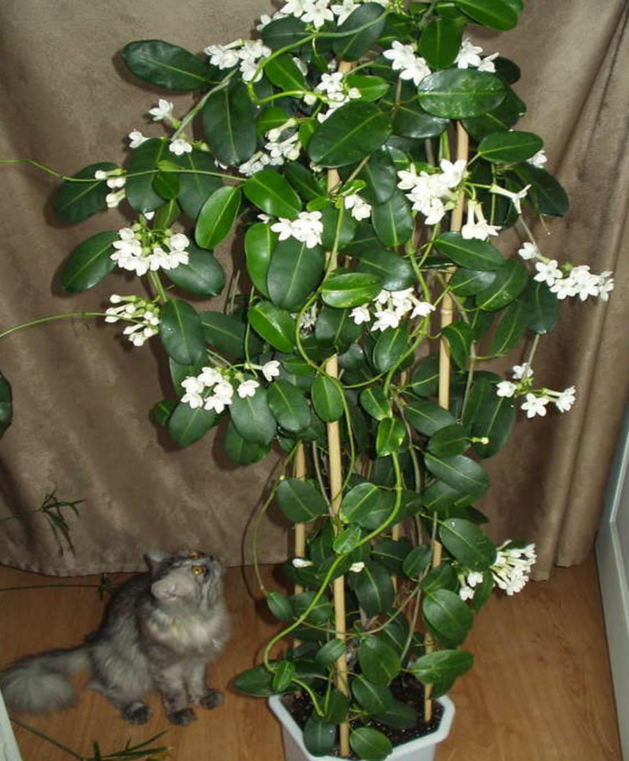 Цветок стефанотис флорибунда уход в домашних условиях почему желтеют листья черенкование
