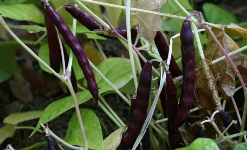 Черная фасоль: выращивание и уход, сорта с описаниями, характеристика, отзывы