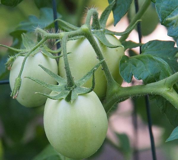 Томаты без рассады: как выращивать помидоры без рассады