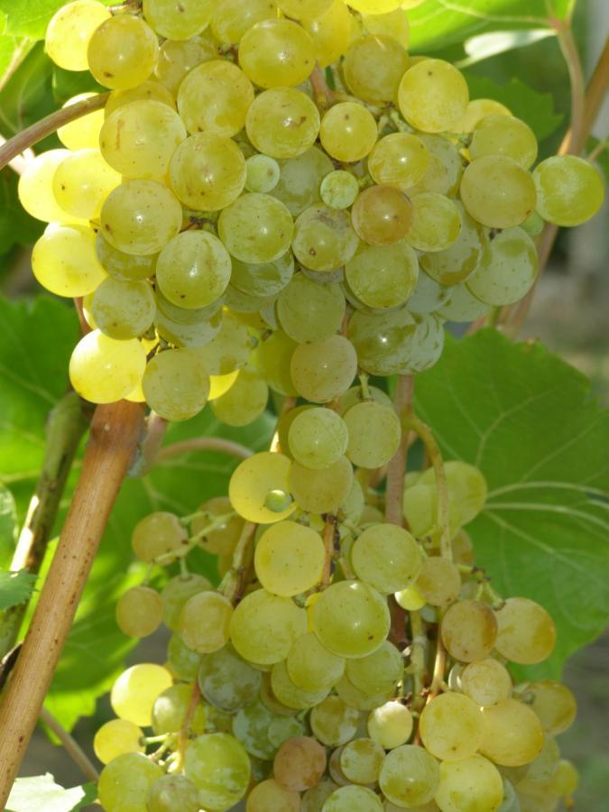 Виноград русбол, описание сорта