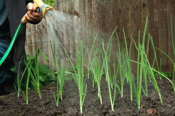 Выращивание и уход за чесноком в открытом грунте