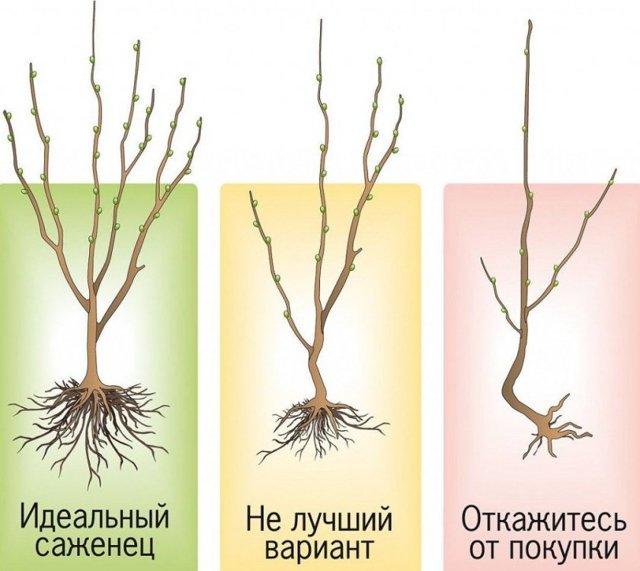 Абрикос маньчжурский (prúnus mandschúrica) в домашних условиях