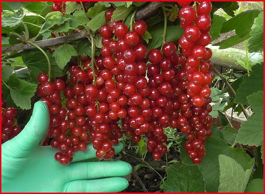 Сорта смородины: их виды - ранние, поздние, сладкие, крупные, универсальные, новые, по регионам - черная, красная, белая, золотая