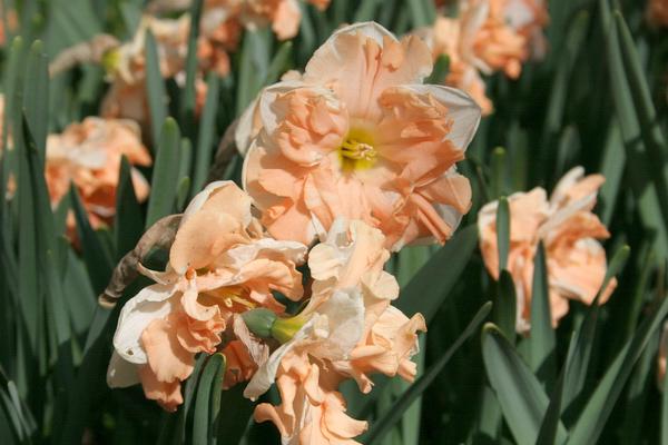 Нарцисс рип ван винкль: фото, выращивание, размножение сорта